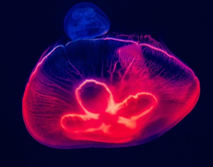 Méduse luminescente